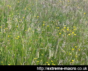 Ranmore Common meadow grass